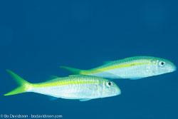 BD-131207-Marsa-Alam-0810-Mulloidichthys-vanicolensis-(Valenciennes.-1831)-[Yellowfin-goatfish].jpg